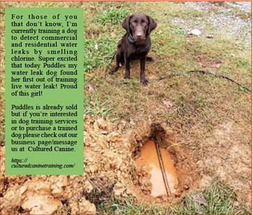 'Puddles' — The leak detecting dog